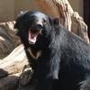 ツキノワグマが人間を食料と認識!?熊の胃から人体  熊怖いよ…
