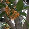 金木犀の香り❣️