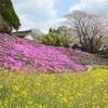 芝桜、菜の花、ソメイヨシノ…三重奏鮮やか 美里町