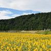 白山市上野地区のひまわり畑・・