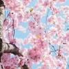 京都でゆっくり桜を鑑賞できるおすすめのコースを1つ