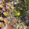 わたしも咲いています。タンポポの花。