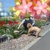 70代シニアのインスタグラム356日~咲いた咲いたチューリップの花