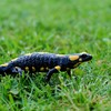 03/04/2017『Salamandra サラマンダー』#かもし