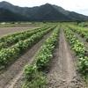 黒豆栽培、次の段階