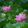 ✿先日の不忍池 蓮の花