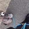 2021.5.11 【Emmaチャレンジ‼️】愛犬を散歩する時に引っ張りで悩んでる人は必見です! Uno1ワンチャンネル宇野樹より