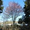 境内の桜や梅は只今満開です!