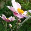 秋明菊とアネモネ