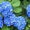 紫陽花の句
