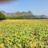 ロブリーから向日葵畑を見に行った。
