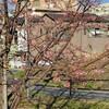 たぶん寒緋桜(カンヒザクラ)🌸