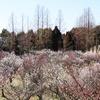 兵庫県明石)石ケ谷公園。梅林の梅が見ごろ。ミモザ(フサアカシア)、サンシュユもきれい。