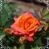 薔薇、ドンドン咲いてます