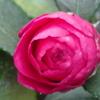 年末のご挨拶に!-我が家の庭にも赤い椿が咲きました。