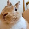 【ミニウサギのサスケ先輩】うさぎの反応に飼い主悶絶!?かわいいうさぎ動画を毎週配信しています