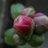 木瓜のつぼみ