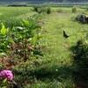 「盆花」が、田んぼで賑やかに…。