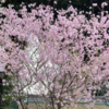 村富神社の「さくら」(3月28日)