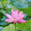 植物:蓮の花