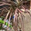 ドラセナ・コンシンネ レインボー 私のお気に入りの観葉植物😊