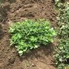 落花生の実が土の中に入っていきました。家庭菜園(9月9日)