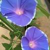 アサガオ観察日記(7)久々に白縁取りのブルーが開花!しかも色が変化した!