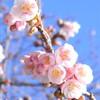 寒桜と福寿草