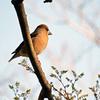 コロナウイルスで撮影中断(大阪城公園の野鳥)。