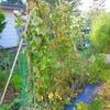 そういえば最近畑の野菜の状況を書くことがなかったので久々に・・・