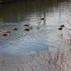 旭川でカモの群れ泳ぐ