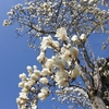 鷺池/彼岸の過ぎる頃、南風に誘われて白木蓮と辛夷が咲きはじめました。香りも高く、おおらかに照り映えています。