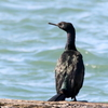 飛び立ち着水する外川漁港のヒメウ