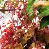 ★紅い茎とつぼみ