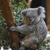 コアラの赤ちゃん、袋から出る