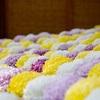 西本願寺の献菊展2016。