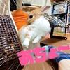 【ミニウサギのサスケ先輩】うさぎの可愛さ120%増量!?かわいいうさぎ動画を配信しています♪