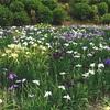滝と紫陽花