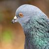 🕊野鳥の回【17】🆕 カワラバト(河原鳩)野鳥グループから除外された可哀そうな鳥