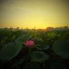 蓮畑を見に行く方法 in Hanoi