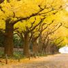 神宮外苑のイチョウ並木はなぜ美しいのか?
