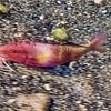 クームー  goatfish(オジサン)
