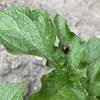 ジャガイモの葉がてんとう虫(のような虫)に食べられている!