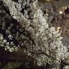 春霖も 威風堂々 咲く桜