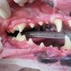 【犬版】ハナちゃんの動物病院 Complete⑤ ~診察記/闘病記~【歯石処置、全身麻酔、腫瘤、膿皮症、アレルギー、ドック、腫瘍】