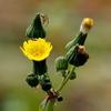 冬にも咲くハルノノゲシ(春の野芥子)