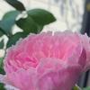 新苗から♪ 咲かせてみた プリティジェシカ&元気になったマイスタージンガー