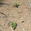 自然菜園 ジャガイモ