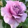 """【庭】Rosa """" Novalis """""""