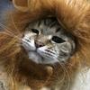 【猫ブログ】ライオンもネコ科?